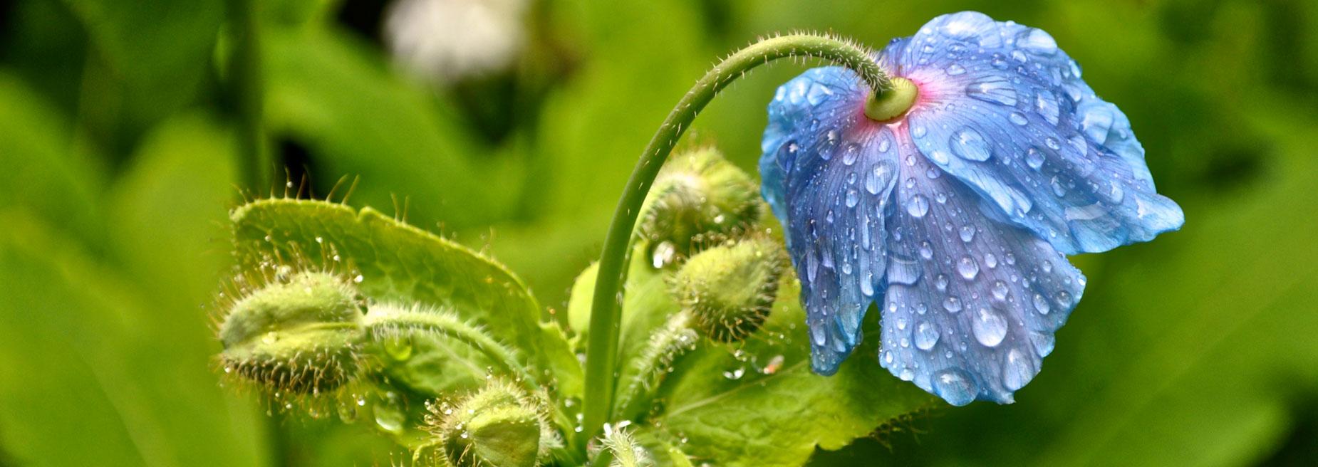 Himalayan Blue Poppy - Kanchenjunga region